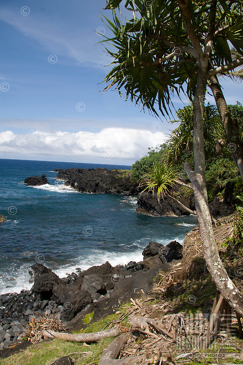 A lauhala tree overlooks the peninsula between Honolulu Nui Bay and Kipakaone Bay in Nahiku, off the road to Hana, Maui.