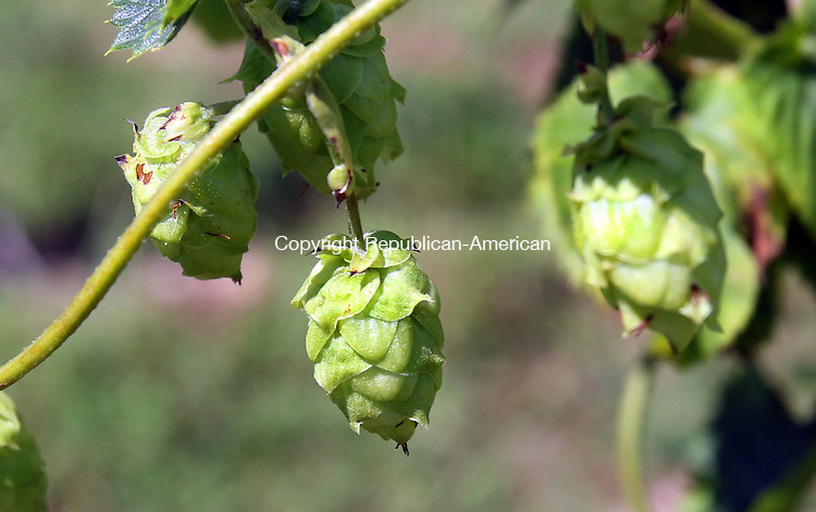 MORRIS CT. 09 Augusr 2017-080917SV05-Hops plants growing at Pioneer Hops Farm in Morris Wednesday.<br /> Steven Valenti Republican-American