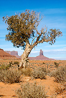 DESERT FLORA<br /> Desert Tree<br /> Monument Valley, Utah