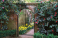 Evergreen Camellia shrub with pink flowers by brick wall entry to Filoli garden