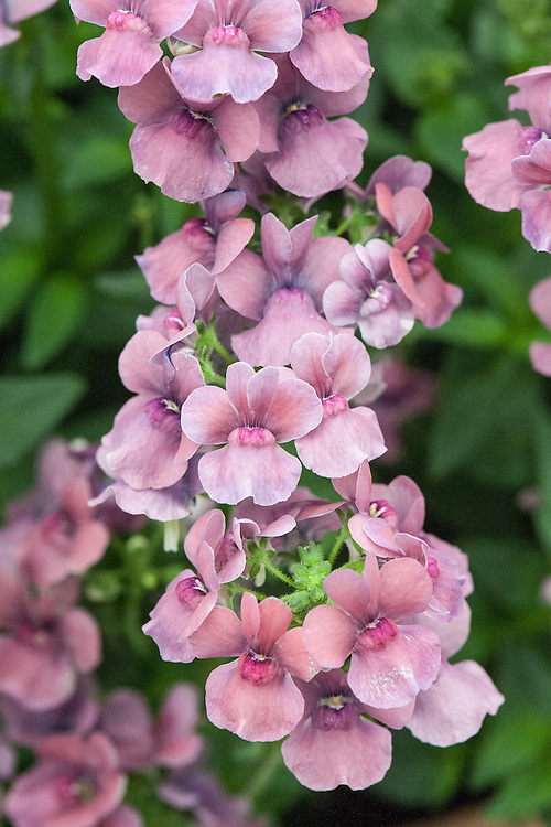 Nemesia Pink Lagoon 'Penpink' (Maritana series), the first all pure pink variety, shortlisted for Plant of the Year at the RHS Chelsea Flower Show, 2014.