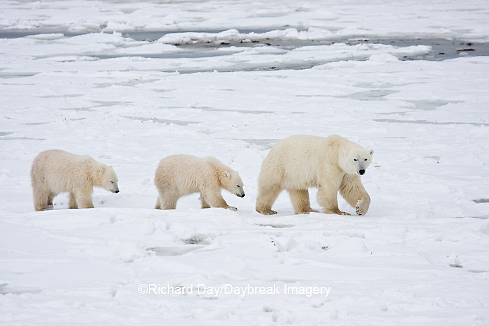 01874-11608 Polar Bears (Ursus maritimus) female and 2 cubs, Churchill Wildlife Management Area,  MB