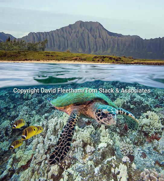Digital split image of a hawksbill turtle, Eretmochelys imbricata, and raccoon butterflyfish off Oahu, Hawaii.