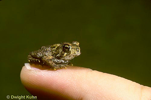 FR16-005x  American Toad - size comparison of young toad - Anaxyrus americanus, formerly Bufo americanus