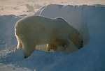 A polar bear digs a den in a snow bank, an arctic fox watches in the background at Hudson Bay in Manitoba, Canada.