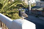 Pigeon, Valparaiso