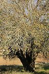 Israel, Shephelah, Mount Tabor Oak tree (Quercus ithaburensis) in Maresha Forest