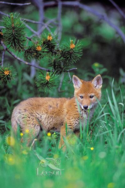 Wild Coyote pup within twenty feet of its den.  Western U.S., June.