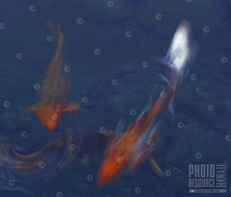 Koi fish swimming in blur motion