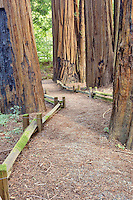 Path in  Humbolt Redwoods State Park. California