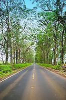 Tree Tunnel, Maluhia Road, Koloa, Kauai, Hawaii