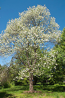 Halesia diptera magniflora, Two-wing Silverbell in spring tree flowers