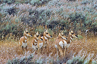 Pronghorn (Antilocapra americana) group amid autumn sage brush in prairie grassland, autumn, Yellowstone National Park, Montana, USA.