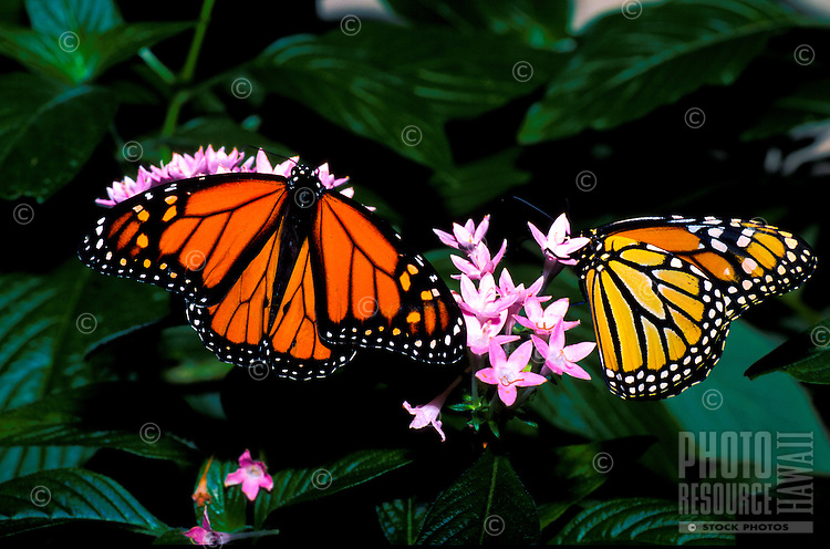 The beautiful Monarch Butterfly seeks nectar from flowers.
