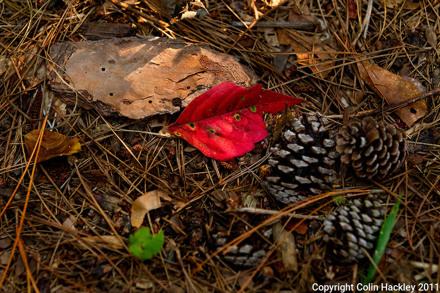 MICCOSUKEE GREENWAY: Dry weather brings early color to the forest floor..COLIN HACKLEY PHOTO