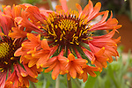 GAILLARDIA 'TRUMPET RED', BLANKET FLOWER
