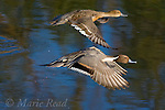 Northern Pintail (Anas acuta), pair in flight, Bolsa Chica Ecological Reserve, California, USA
