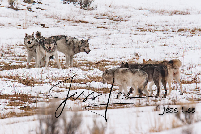 two packs of wolves facing off during breeding season.