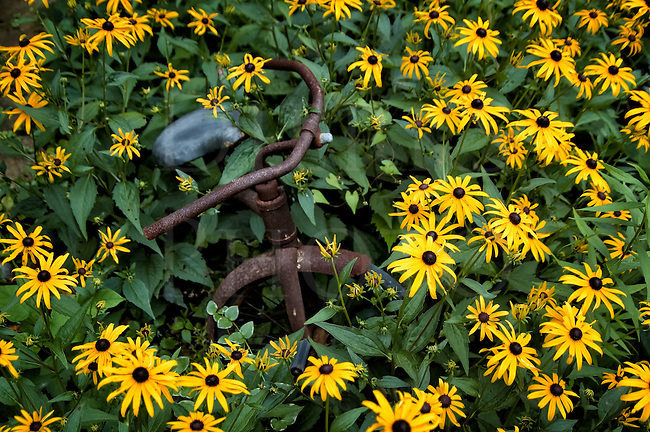 A tricycle forgotten and abandoned, rusting away covered by summer black eyed susan flowers.