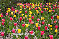 63821-21405 Red and yellowTulips and Lilacs in spring at Lilacia Park, Lombard, IL
