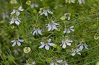 Echter Schwarzkümmel, Schwarz-Kümmel, Nigella sativa, fennel flower, nutmeg flower, black caraway, Roman coriander, black cumin