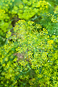 Dill in flower, early August.