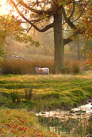 Swaledale ewe in autumn leaves and woodland, Trough of Bowland, Lancashire....Copyright John Eveson 01995 61280..j.r.eveson@btinternet.com