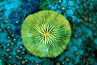 Fluorescent Mushroom coral, Ctenactis echinata, Komodo National Park, Indian Ocean, Indonesia