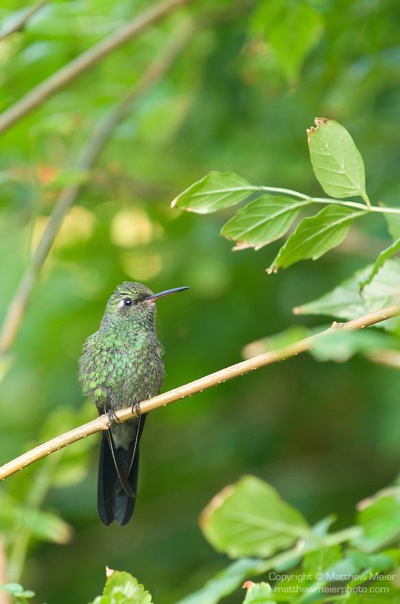 Grand Bahama Island, The Bahamas; a Cuban Emerald Hummingbird (Chlorostilbon ricordii) resting on a branch of an orchid tree