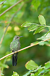 Grand Bahama Island, The Bahamas; a Cuban Emerald Hummingbird (Chlorostilbon ricordii) resting on a branch of an orchid tree