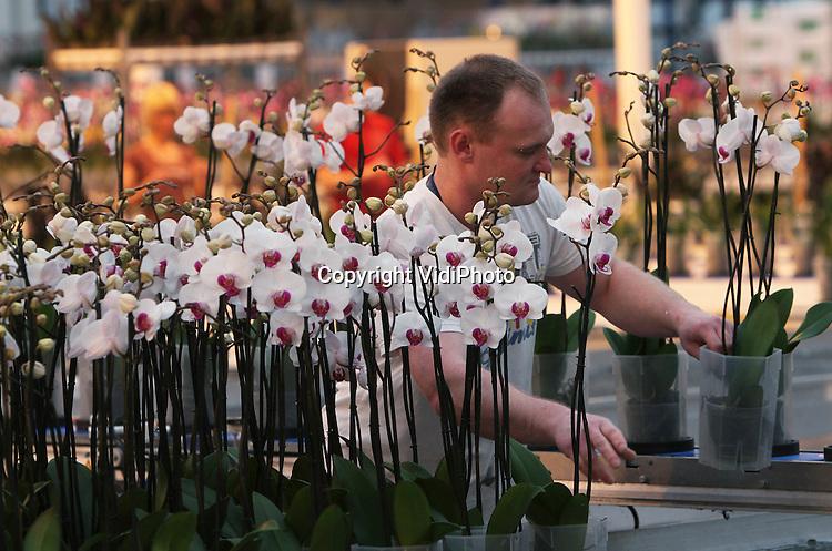 Foto: VidiPhoto..GAMEREN - De Valentijnorders stromen binnen bij Bloemkweker Satter (WSF) uit Gameren. Vooral de pot-orchideeën (phalaenopsis) vinden gretig aftrek. Naast de roos, is de orchidee het meest gewilde geschenk voor Valentijn. Satter verwerkt er jaarlijks 120 soorten en 25 kleuren; totaal zo'n 2 miljoen stuks. De grootste vraag komt uit Duitsland en voormalige Oostbloklanden als Polen en Tsjechië. Doordat orchideeën nu ook bij supermarkten en bouwmarkten te koop zijn, is de omzet van orchideeën in Nederland flink gestegen..