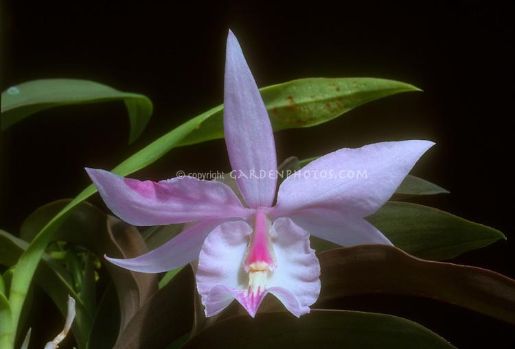 Barkeria spectabilis, Orchid species native to El Salvador, Chiapas, Guatemala, Honduras, and Nicaragua, grows on Oak trees
