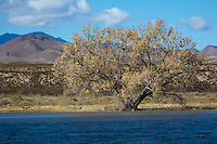 A Bald Eagle sits on a branch in this tree at Bosque del Apache National Wildlife Refuge in New Mexico.