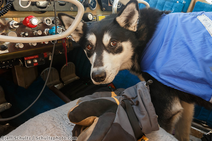 One of Karin Hendrickson's dogs is strapped in for a flight out of the Cripple checkpoint on Friday, March 7, during the Iditarod Sled Dog Race 2014. Dogs that are injured or tired may be left at checkpoints in the care of professional veterinarians. They are then transported to Anchorage for a musher's family or friends or handler to retrieve them.<br /> <br /> PHOTO (c) BY JEFF SCHULTZ/IditarodPhotos.com -- REPRODUCTION PROHIBITED WITHOUT PERMISSION