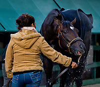 BALTIMORE, MD - MAY 14: Kentucky Derby winner Always Dreaming gets a bath after exercising in preparation for the Preakness Stakes next week at Pimlico Race Course on May 14, 2017 in Baltimore, Maryland.(Photo by Sydney Serio/Eclipse Sportswire/Getty Images)
