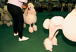 Crufts Dog Show 1990s National exhibition Centre Birmingham UK. Standard White Poodle getting ready to be shown Competitive hobby