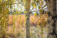 European weeping birch (Betula pendula) in yellow autumn, fall color in Colorado meadow garden
