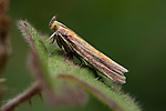Micro Moth, Oncocera semirubella, Queensdown Warren, Kent Wildlife Trust, UK,