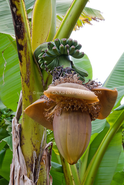 Musa green Bananas in flower on banana tree