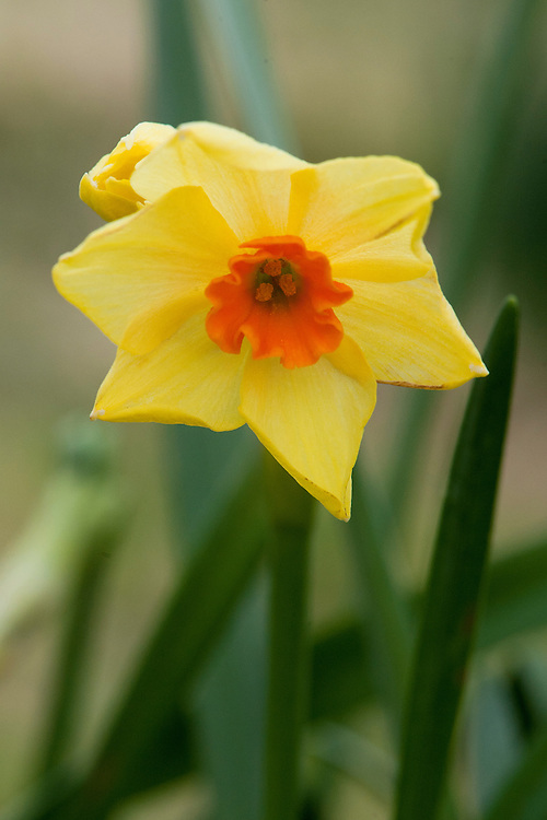 Daffodil (Narcissus 'Hugh Town'), a Division 8 Tazetta variety, mid February.