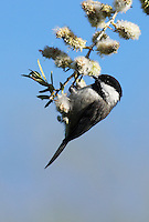 Chickadee - Black-capped