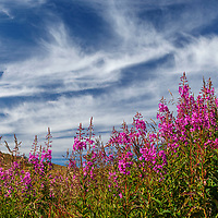 Summer/early Fall-Autumn landscape of fireweed and clouds.  Southcentral, Alaska