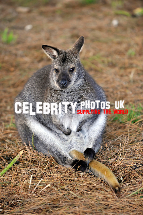 wallaby, keepers at Whipsnade Zoo do  their annual stocktake oon January 8, 2013 in Dunstable, England.Picture By: Brian Jordan / Retna Pictures.. ..-..