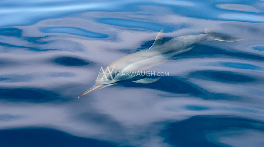 We encountered a pod of spinner dolphins one day. They liked to swim near the bow of the boat when we got moving, but once we entered the water they were pretty shy.
