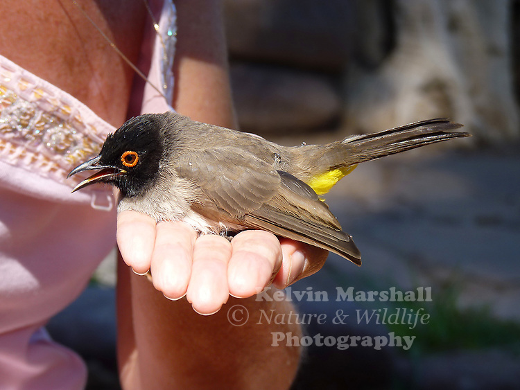 A guest staying at the Palmwag lodge picks up an African Red-eyed Bulbul which accidentally flew into a window.