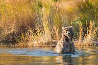 Brown bear wades in the Brooks River, Katmai National Park, southwest Alaska.