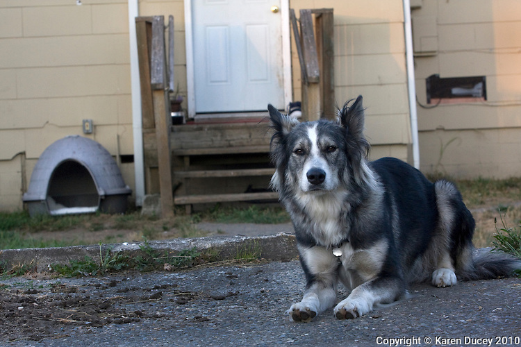 1712 South L St., chained Husky mix.  Chained dogs in Tacoma including Bandit at 6610? S. Cheyenne St., and dogs near the McKenzie park neighborhood and Hill Top neighborhood. (photo Karen Ducey)