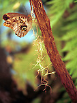 Owl butter fly on tree, butterfly, Caligo, butterflies, owls eyes, Owl butterflies, Animal, wild animals, domestic animals,  Fine Art Photography, Ronald T. Bennett (c) Fine Art Photography by Ron Bennett, Fine Art, Fine Art photography, Art Photography, Copyright RonBennettPhotography.com ©
