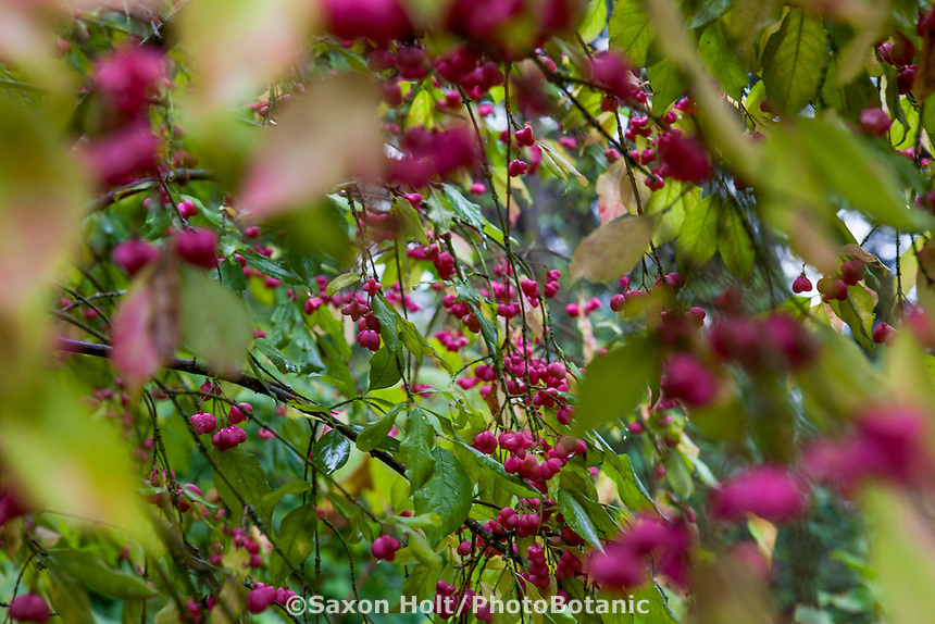 Fall berries on Spindle tree (Euonymus europaeus), Hoyt Arboretum