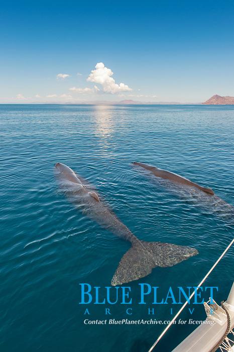 sperm whale, Physeter macrocephalus, Baja California, Mexico, Gulf of California, Sea of Cortez, Pacific Ocean